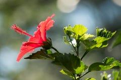 Κλείστε επάνω κόκκινα hibiscus με το πράσινο φύλλο στοκ φωτογραφία με δικαίωμα ελεύθερης χρήσης