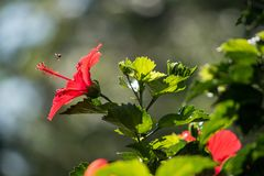 Κλείστε επάνω κόκκινα hibiscus με το πράσινο φύλλο στοκ φωτογραφίες με δικαίωμα ελεύθερης χρήσης