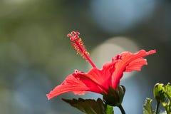 Κλείστε επάνω κόκκινα hibiscus με το φυσικό φως Στοκ φωτογραφίες με δικαίωμα ελεύθερης χρήσης