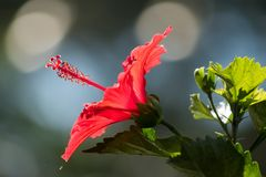 Κλείστε επάνω κόκκινα hibiscus με το bokeh Στοκ Φωτογραφίες