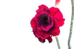 Κλείστε επάνω κόκκινο αυξήθηκε, κόκκινο λουλούδι που απομονώνεται στο άσπρο υπόβαθρο Στοκ φωτογραφίες με δικαίωμα ελεύθερης χρήσης
