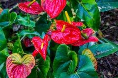 Κλείστε επάνω κόκκινο anthurium στενό σε επάνω λουλουδιών Στοκ Φωτογραφία