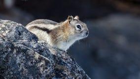 Κλείστε επάνω λίγου chipmunk που σκαρφαλώνει στο βράχο στοκ εικόνα με δικαίωμα ελεύθερης χρήσης