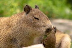 Κλείστε επάνω, μάσημα Capybara μωρών στο φύλλο στοκ φωτογραφία με δικαίωμα ελεύθερης χρήσης