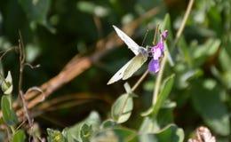 κλείστε επάνω μιας άσπρης πεταλούδας με τα μαύρα σημεία και τα ανοιγμένα φτερά που τίθενται ειρηνικά σε ένα πορφυρό λουλούδι για  στοκ φωτογραφίες