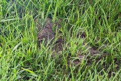 Κλείστε επάνω μιας μυρμηγκοφωλιάς σε έναν πράσινο χορτοτάπητα στοκ εικόνα