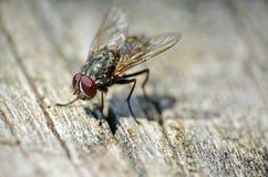 Κλείστε επάνω μιας μύγας σπιτιών Στοκ Φωτογραφίες