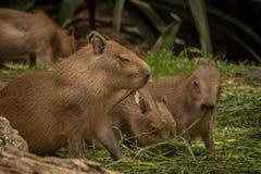 Κλείστε επάνω, μωρό Capybara που τρώει τη χλόη στοκ φωτογραφία