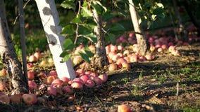 Κλείστε επάνω, πολλά ώριμα πεσμένα μήλα στο έδαφος κάτω από τα δέντρα μηλιάς σε έναν οπωρώνα φθινόπωρο νωρίς Συγκομιδή των μήλων απόθεμα βίντεο
