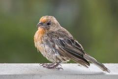 Κλείστε επάνω πορτοκαλί Finch σπιτιών στο βροχερό κιγκλίδωμα ημέρας με την πράσινη πλάτη στοκ φωτογραφία με δικαίωμα ελεύθερης χρήσης