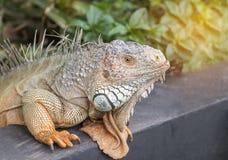 Κλείστε επάνω πορτρέτου το πράσινο iguana Iguana ερπετό σαυρών iguana μεγάλο Στοκ Εικόνες