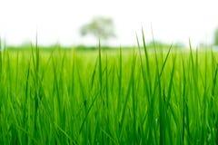 Κλείστε επάνω, πράσινοι τομείς ρυζιού της επαρχίας Στοκ φωτογραφίες με δικαίωμα ελεύθερης χρήσης
