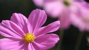 Κλείστε επάνω - ρόδινα λουλούδια απόθεμα βίντεο
