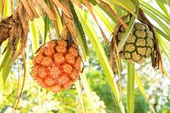 Κλείστε επάνω σε δύο φρούτα pandanus στοκ εικόνες