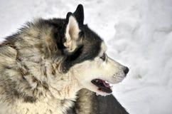 Κλείστε επάνω σιβηρικού γεροδεμένου Στοκ εικόνες με δικαίωμα ελεύθερης χρήσης