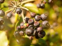 Κλείστε επάνω σκούρο μπλε πολλά μούρα στο θάμνο το φθινόπωρο - Hedera χ στοκ εικόνα