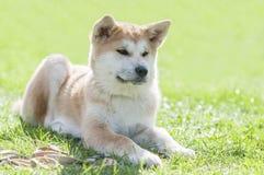 Κλείστε επάνω στο κουτάβι inu Akita το σκυλί στη χλόη Στοκ Εικόνες