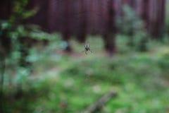 Κλείστε επάνω στο diadematus Araneus σφαίρα-υφαντών στο δάσος Στοκ Φωτογραφία