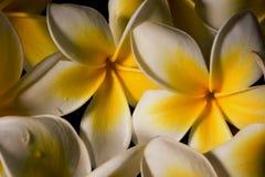 Κλείστε επάνω τα άσπρα ευγενή λουλούδια plumeria frangapani μετά από τη βροχή στο μαύρο υπόβαθρο 2 Στοκ Εικόνες