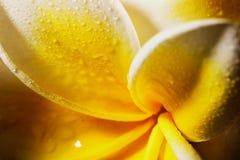 Κλείστε επάνω τα άσπρα ευγενή λουλούδια plumeria frangapani μετά από τη βροχή στο μαύρο υπόβαθρο 4 Στοκ Εικόνα