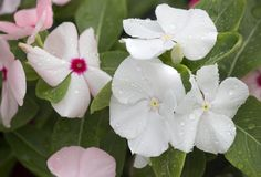 Κλείστε επάνω τα άσπρα λουλούδια phlox Στοκ Φωτογραφία