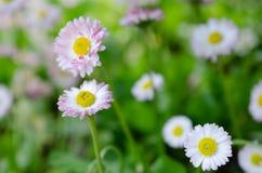 Κλείστε επάνω τα άσπρα μίνι λουλούδια χρυσάνθεμων στοκ φωτογραφίες