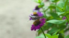 Κλείστε επάνω τα ανθίζοντας λουλούδια επικονίασης πεταλούδων στο θερινό κήπο Πεταλούδα που συλλέγει το νέκταρ στο κρεβάτι λουλουδ απόθεμα βίντεο