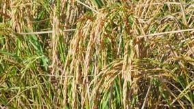 Κλείστε επάνω τα αυτιά του χρυσού ρυζιού που ταλαντεύεται στον αέρα Χρυσοί τομείς ρυζιού στενό σε επάνω πριν από τη συγκομιδή φιλμ μικρού μήκους