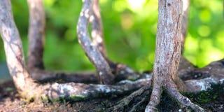 Κλείστε επάνω τα δέντρα μπονσάι ιουνιπέρων ομάδας Στοκ εικόνα με δικαίωμα ελεύθερης χρήσης