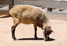 Κλείστε επάνω τα εσωτερικά πρόβατα σε ένα αγρόκτημα Στοκ εικόνες με δικαίωμα ελεύθερης χρήσης