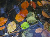 Κλείστε επάνω τα ζωηρόχρωμα πεσμένα κόκκινα φύλλα δέντρων γραμμάτων Τ και σφενδάμνου οξιών επάνω Στοκ φωτογραφία με δικαίωμα ελεύθερης χρήσης