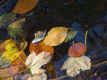 Κλείστε επάνω τα ζωηρόχρωμα πεσμένα φύλλα δέντρων σφενδάμνου και οξιών στο νερό TA Στοκ εικόνα με δικαίωμα ελεύθερης χρήσης