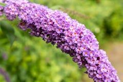 Κλείστε επάνω τα ιώδη και ρόδινα λουλούδια με το υπόβαθρο από την εστίαση στοκ εικόνες