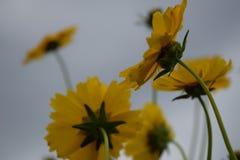 Κλείστε επάνω τα κίτρινα λουλούδια στο μαλακό φως κήπων Στοκ Εικόνες