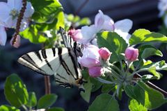 Κλείστε επάνω τα λουλούδια δέντρων πεταλούδων και μηλιάς Κλείστε επάνω της πεταλούδας Στοκ Εικόνες