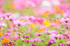 Κλείστε επάνω τα λουλούδια κόσμου των FO με το υπόβαθρο θαμπάδων στον κήπο Στοκ φωτογραφίες με δικαίωμα ελεύθερης χρήσης