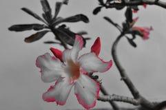 Κλείστε επάνω τα λουλούδια adenium στη φύση στοκ εικόνες