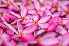 Κλείστε επάνω τα λουλούδια plumeria στοκ εικόνες με δικαίωμα ελεύθερης χρήσης