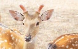 Κλείστε επάνω τα νέα αρσενικά deers sika ή τα επισημασμένα deers ή το ιαπωνικό άγριο ζώο Cervus deers nippon στοκ φωτογραφία με δικαίωμα ελεύθερης χρήσης