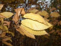 Κλείστε επάνω τα πορτοκαλιά φύλλα φθινοπώρου στο γυμνό δασικό δέντρο φθινοπώρου κλάδων Στοκ φωτογραφίες με δικαίωμα ελεύθερης χρήσης