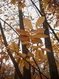Κλείστε επάνω τα πορτοκαλιά φύλλα φθινοπώρου στο γυμνό δασικό δέντρο φθινοπώρου κλάδων Στοκ Φωτογραφία