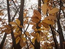 Κλείστε επάνω τα πορτοκαλιά φύλλα φθινοπώρου στο γυμνό δασικό δέντρο φθινοπώρου κλάδων Στοκ Εικόνες