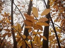 Κλείστε επάνω τα πορτοκαλιά φύλλα φθινοπώρου στο γυμνό δασικό δέντρο φθινοπώρου κλάδων Στοκ Εικόνα