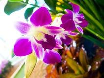 Κλείστε επάνω τα πορφυρά λουλούδια ορχιδεών άνθισης στο φυσικό κήπο backgroun Στοκ φωτογραφίες με δικαίωμα ελεύθερης χρήσης