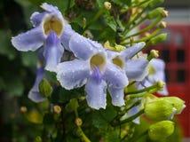 Κλείστε επάνω τα πορφυρά λουλούδια ορχιδεών Cattleya Στοκ εικόνα με δικαίωμα ελεύθερης χρήσης