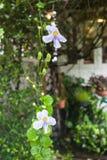 Κλείστε επάνω τα πορφυρά λουλούδια ορχιδεών Cattleya Στοκ Εικόνα