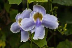 Κλείστε επάνω τα πορφυρά λουλούδια ορχιδεών Cattleya Στοκ Εικόνες
