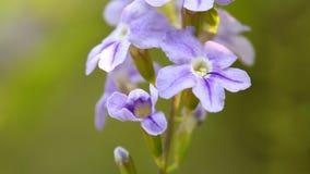 Κλείστε επάνω τα πορφυρά λουλούδια στον τομέα φιλμ μικρού μήκους