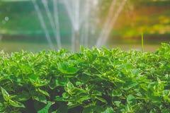 Κλείστε επάνω τα πράσινα φύλλα του θάμνου με τον παφλασμό νερού της πηγής στο υπόβαθρο λιμνών στον υπαίθριο κήπο Στοκ εικόνες με δικαίωμα ελεύθερης χρήσης