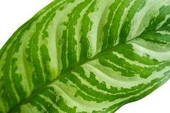 Κλείστε επάνω τα πράσινα φύλλα των φυτών Aglaonema στοκ φωτογραφίες με δικαίωμα ελεύθερης χρήσης